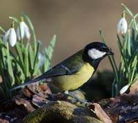 Great Tit with snowdrops