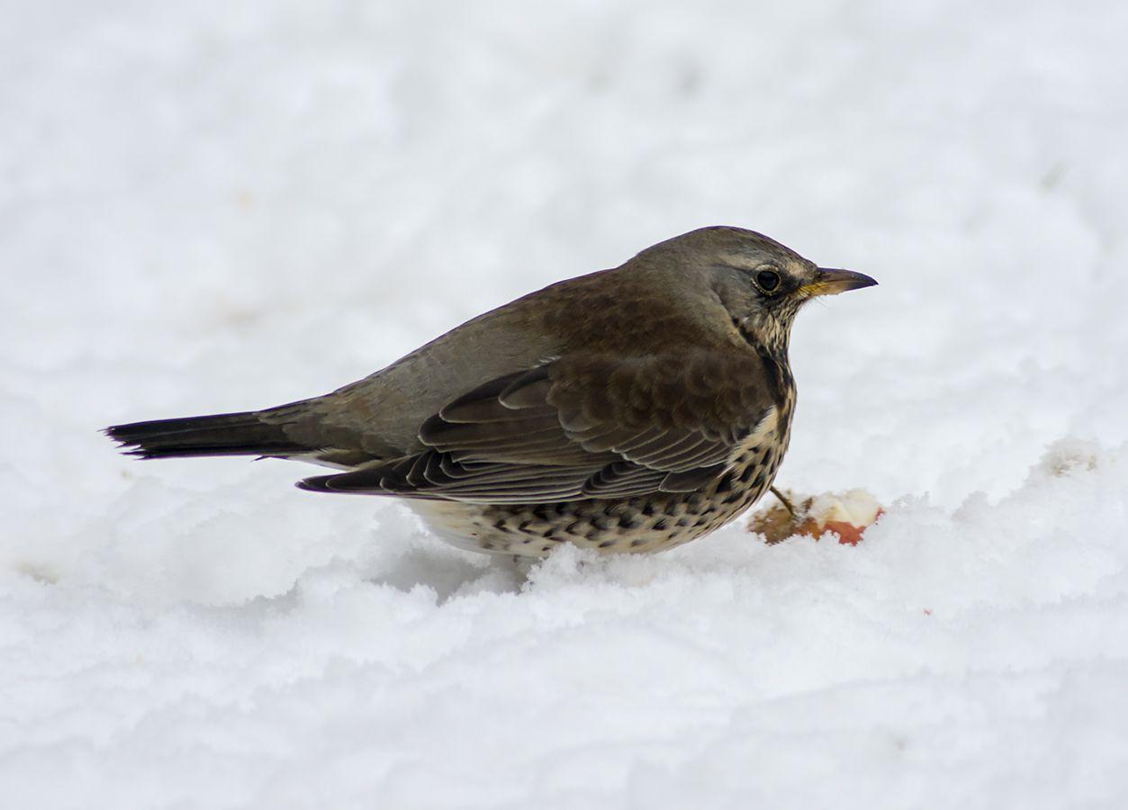 danske fugle i haven