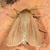 Mythimna pallens - Common Wainscot